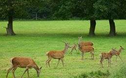 Alerte de cerfs communs rouges ! Photo stock