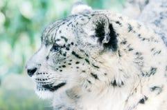 Alerte de léopard de neige Photographie stock libre de droits