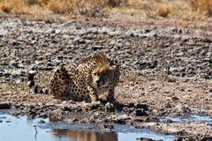 Alerte el guepardo Imágenes de archivo libres de regalías