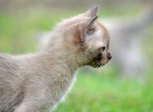 Alerte et portrai birman pelucheux minuscule espiègle de chaton photographie stock libre de droits