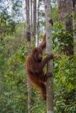 Alerte orangoetan die een boom beklimmen dichter aan de hemel in de wildernissen van Indonesië stock foto's