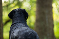Alerted. Behind View of Wet Dog Looking into Woods Stock Photos