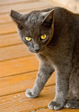 An alerted black cat. A partial view of an alerted street black cat on a yellow wooden patio: focus on the large yellowish eyes with slit pupils Royalty Free Stock Image
