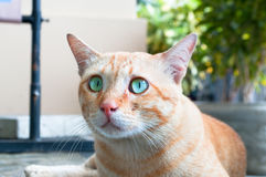 Alerted cat. Alerted street cat with wide opened blue-green eyes and pointing up ears Stock Photos