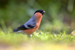 Alerted Eurasian Bullfinch. (Pyrrhula pyrrhula) looking for food in grass in an ecological natural garden Stock Images