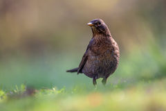 Alerted female common blackbird Stock Photos