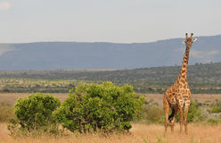 Alerted giraffe - Serengeti (Tanzania, Africa). Alerted giraffe standing alongside  a bush, hills in the background - Serengeti National Park (Tanzania, Africa Royalty Free Stock Photography