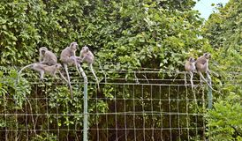 Alerted monkeys. Very tame Vervit monkeys near a reential area in Durban SA Stock Image