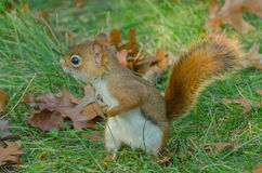An alerted red squirrel. An attentive red squirrel listening for potential danger Royalty Free Stock Images