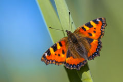 Alerted Small tortoiseshell Royalty Free Stock Photography