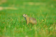 Alerted squirrel . Ground squirrel alert and watching around. Cute mammal. On meadow Stock Photo