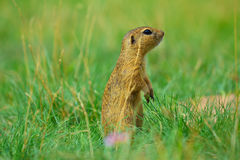 Alerted squirrel . Ground squirrel alert and watching around. Cute mammal. On meadow Royalty Free Stock Images