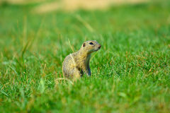 Alerted squirrel . Ground squirrel alert and watching around. Cute mammal. On meadow Stock Image
