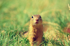 Alerted squirrel . Ground squirrel alert and watching around. Cute mammal. On meadow Stock Photos