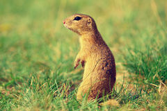 Alerted squirrel . Ground squirrel alert and watching around. Cute mammal. On meadow Stock Photography