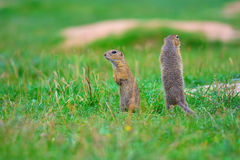 Alerted squirrel . Ground squirrel alert and watching around. Cute mammal. On meadow Stock Images