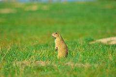 Alerted squirrel . Ground squirrel alert and watching around. Cute mammal. On meadow Royalty Free Stock Photo