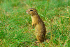 Alerted squirrel . Ground squirrel alert and watching around. Cute mammal. On meadow Royalty Free Stock Image