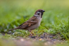 Alerted Tree sparrow. (passer montanus) foraging on the ground in an ecological garden with green background Royalty Free Stock Image