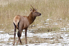 Alerted young  Rocky Mountain Elk. Stock Photography