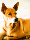 Alertness. A sharp looking stray dog with very alert big pointed ears and bright eyes royalty free stock photography