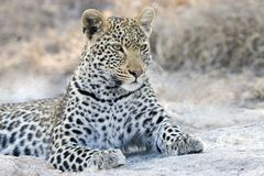 Alertness of a leopard in the Kruger National Park. A leopard on the alert for prey as one of the Big Five in the Kruger National Park stock photos