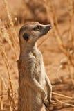 AlertSuricate (Meerkat) en Namibia Foto de archivo libre de regalías