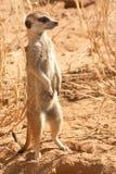 AlertSuricate (Meerkat) i Namibia Royaltyfria Bilder