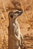 AlertSuricate (Meerkat) i Namibia Royaltyfri Foto