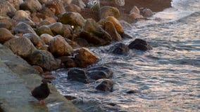 Alesaje de marea En el primero plano, la paloma está desenfocado almacen de metraje de vídeo