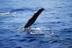 Aleta da baleia Imagem de Stock Royalty Free