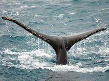 Aleta da baleia de corcunda Foto de Stock