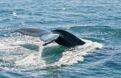 Aleta da baleia de Humpback Imagens de Stock Royalty Free