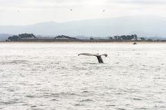 Aleta da baleia de uma baleia de mergulho foto de stock