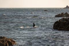 Aleta da baleia da orca, ponto do Moa, Nova Zelândia fotografia de stock