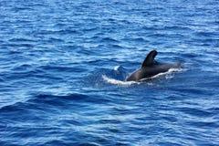 Aleta da baleia piloto no oceano imagens de stock