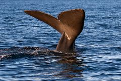 Aleta da cauda da baleia antes de mergulhar imagens de stock