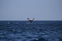 Aleta de cauda da baleia de corcunda em Moçambique foto de stock