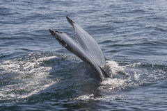 Aleta de cola de una ballena grande imagen de archivo libre de regalías