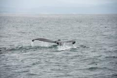 Aleta de cola de una ballena jorobada imagen de archivo