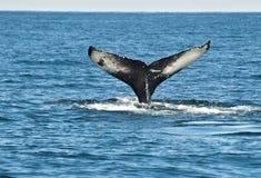 Aleta de la ballena de Humpback Foto de archivo libre de regalías