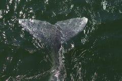 Aleta de la ballena gris Imágenes de archivo libres de regalías
