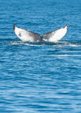 Aleta de la ballena jorobada Fotos de archivo libres de regalías