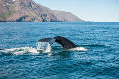 Aleta de la ballena jorobada Fotografía de archivo libre de regalías