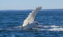 Aleta de la ballena jorobada imágenes de archivo libres de regalías