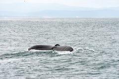 Aleta de la ballena de una ballena que se zambulle imagen de archivo