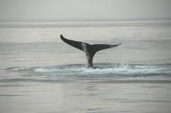 Aleta de una ballena de humpback Foto de archivo libre de regalías