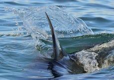 Aleta do close up de um grande tubarão branco Imagens de Stock Royalty Free