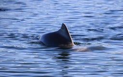 Aleta do golfinho Imagens de Stock