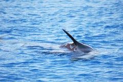 Aleta do golfinho Fotos de Stock Royalty Free